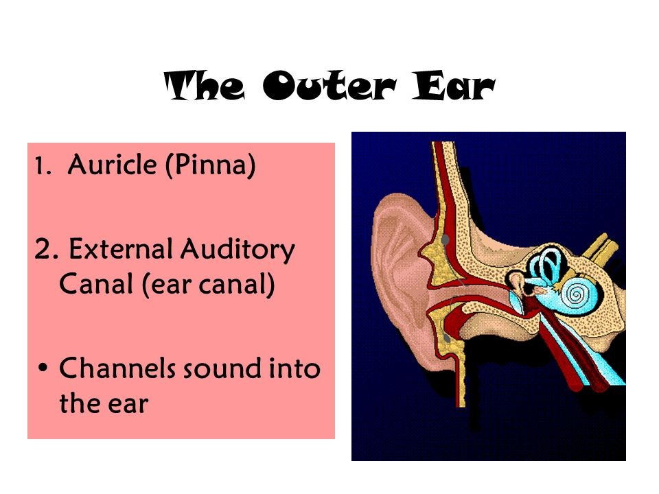 The Anatomy Of The Ear The Outer Ear 1 Auricle Pinna 2 External