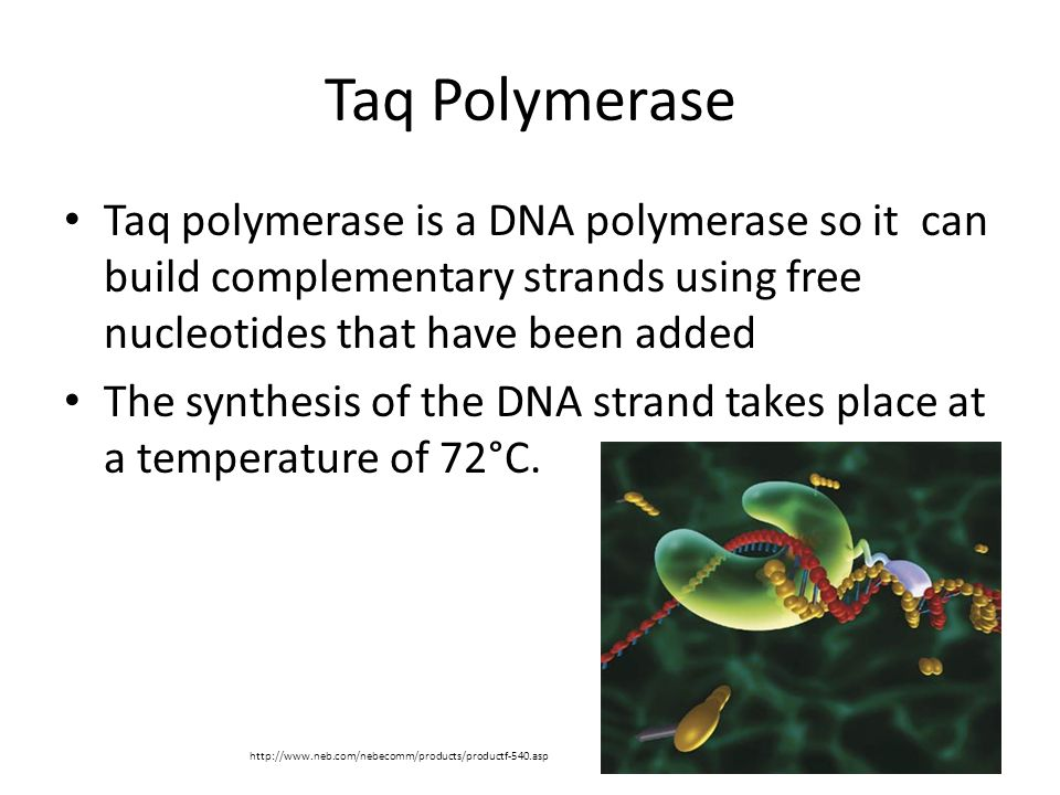 Taq Polymerase Taq polymerase is a DNA polymerase so it can build complementary strands using free nucleotides that have been added The synthesis of the DNA strand takes place at a temperature of 72°C.