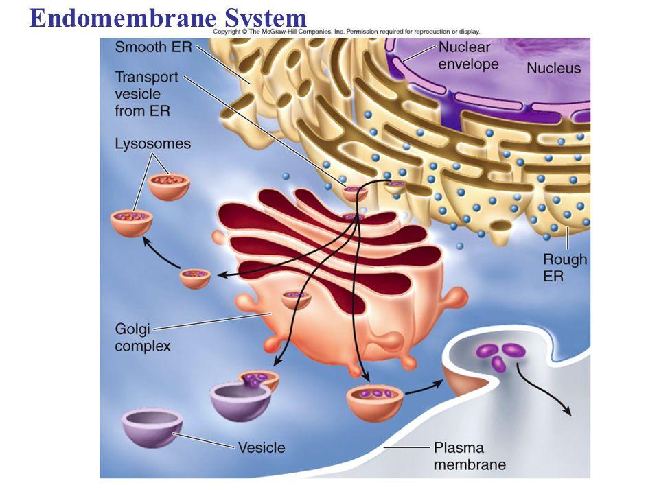 copyright 2008 pearson education inc publishing as pearson  : endomembrane system diagram - findchart.co