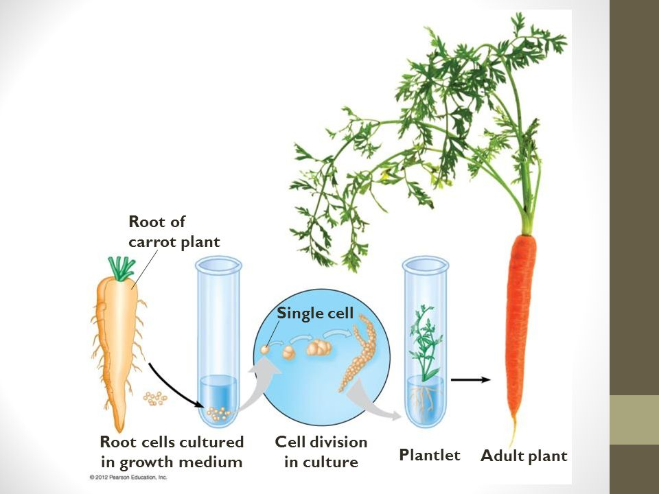Root of carrot plant Root cells cultured in growth medium Cell division in culture Single cell Plantlet Adult plant