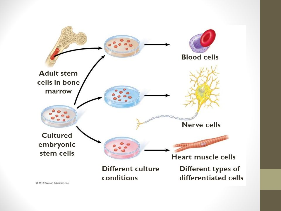 Blood cells Nerve cells Heart muscle cells Different types of differentiated cells Different culture conditions Cultured embryonic stem cells Adult stem cells in bone marrow