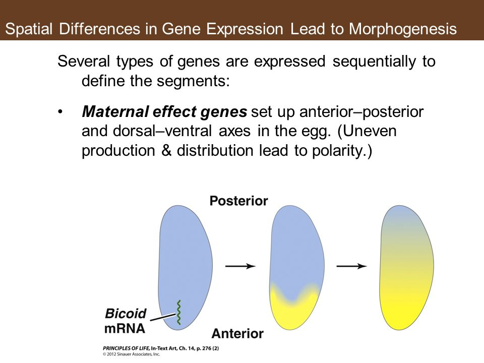 Spatial Differences in Gene Expression Lead to Morphogenesis Several types of genes are expressed sequentially to define the segments: Maternal effect genes set up anterior–posterior and dorsal–ventral axes in the egg.