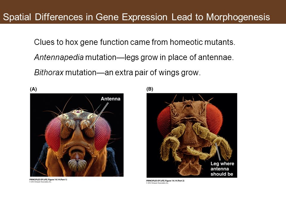 Spatial Differences in Gene Expression Lead to Morphogenesis Clues to hox gene function came from homeotic mutants.