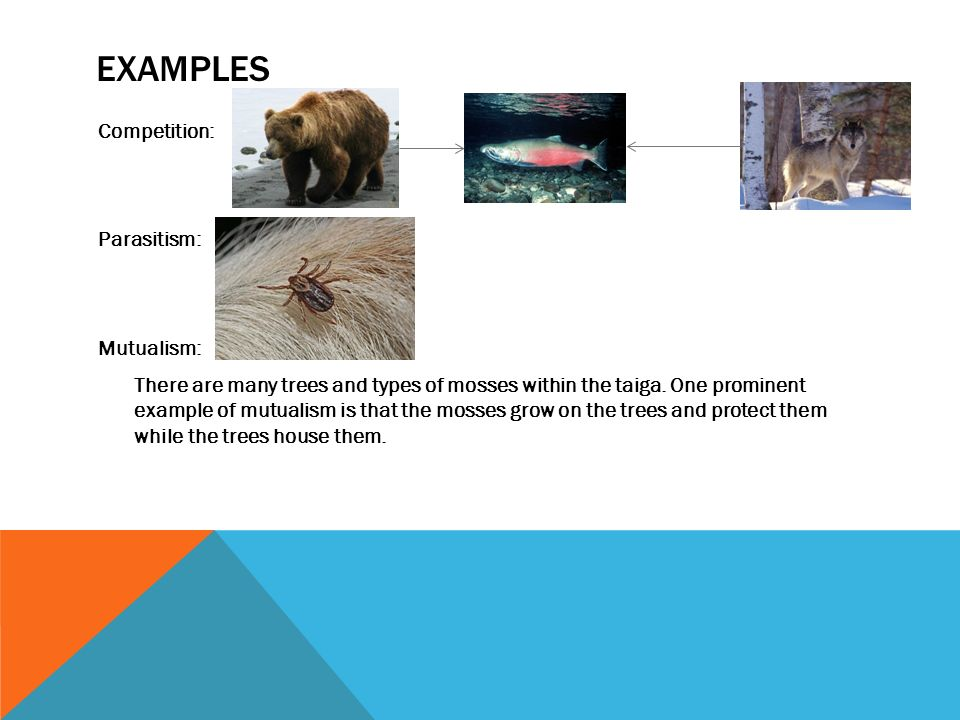 EXAMPLES Competition: Parasitism: Mutualism: There are many trees and types of mosses within the taiga.