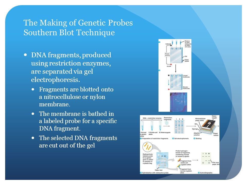 The Making of Genetic Probes Southern Blot Technique DNA fragments, produced using restriction enzymes, are separated via gel electrophoresis.