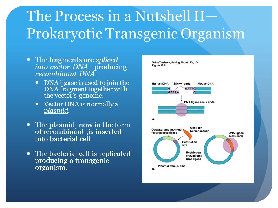 The Process in a Nutshell II— Prokaryotic Transgenic Organism The fragments are spliced into vector DNA—producing recombinant DNA.