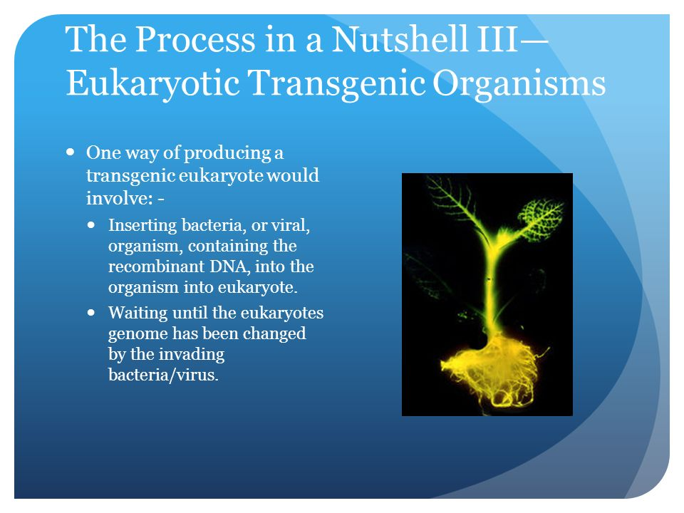 The Process in a Nutshell III— Eukaryotic Transgenic Organisms One way of producing a transgenic eukaryote would involve: - Inserting bacteria, or viral, organism, containing the recombinant DNA, into the organism into eukaryote.
