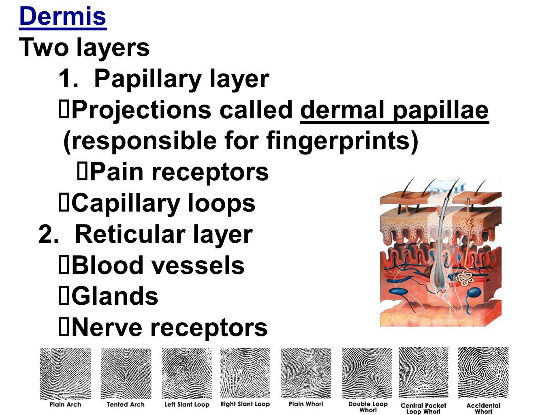 Image result for dermis layer responsible for fingerprints