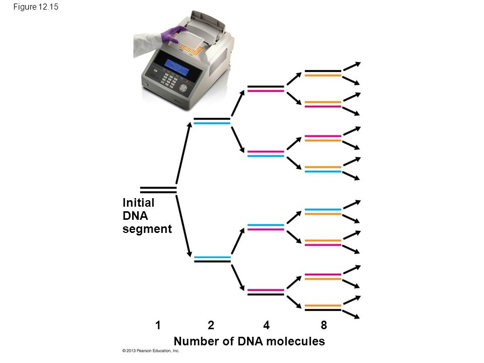 Figure Initial DNA segment Number of DNA molecules 1 248