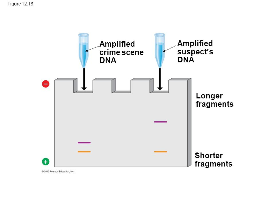 Figure Amplified crime scene DNA Amplified suspect's DNA Longer fragments Shorter fragments