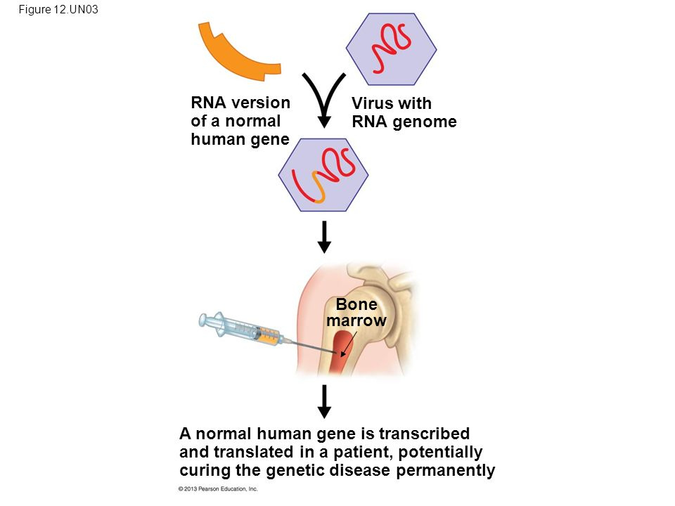 Figure 12.UN03 RNA version of a normal human gene Virus with RNA genome Bone marrow A normal human gene is transcribed and translated in a patient, potentially curing the genetic disease permanently