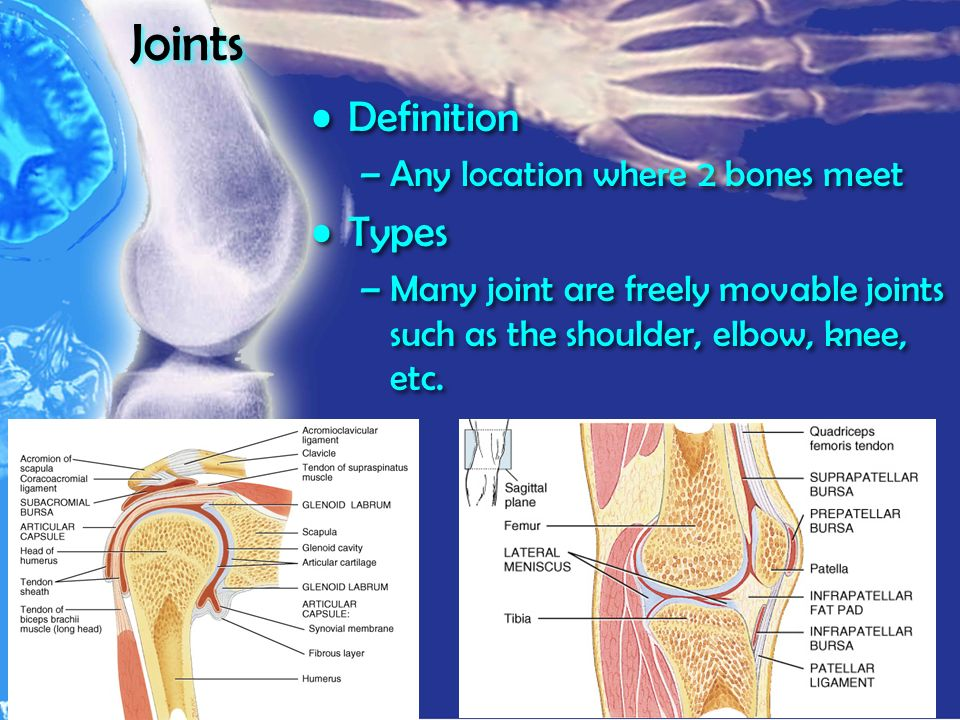 Joints Definition –Any location where 2 bones meet Types –Many joint are freely movable joints such as the shoulder, elbow, knee, etc.