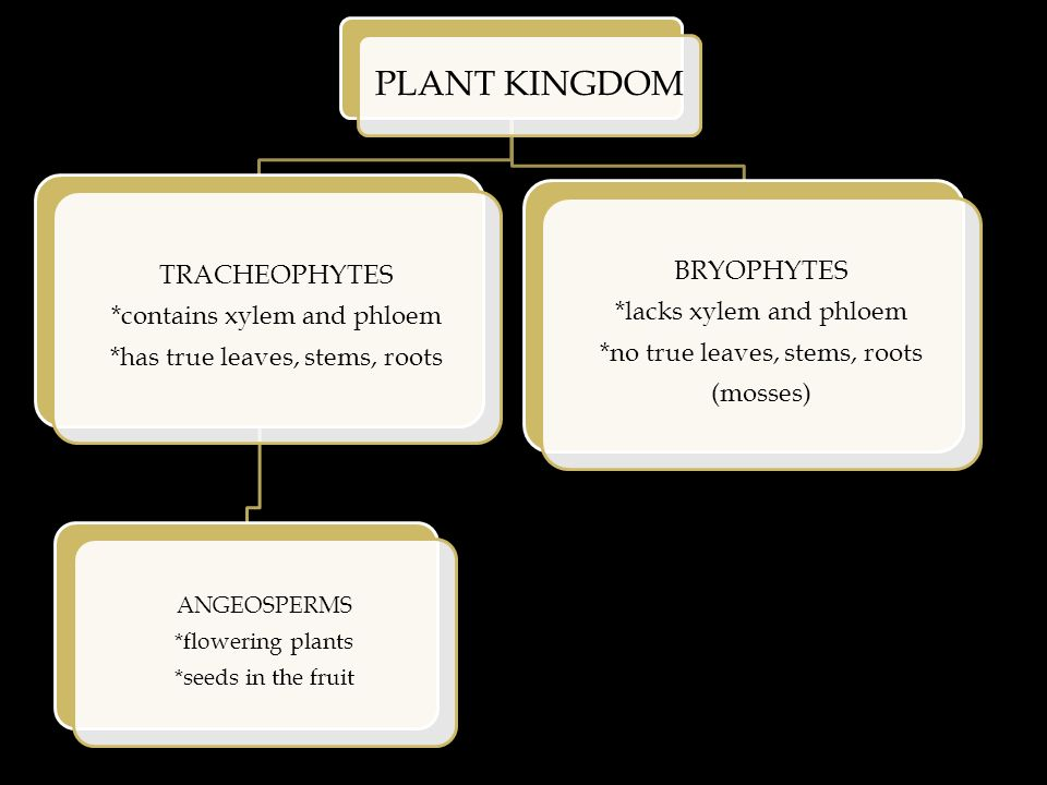 PLANT KINGDOM TRACHEOPHYTES *contains xylem and phloem *has true leaves, stems, roots ANGEOSPERMS *flowering plants *seeds in the fruit BRYOPHYTES *lacks xylem and phloem *no true leaves, stems, roots (mosses)