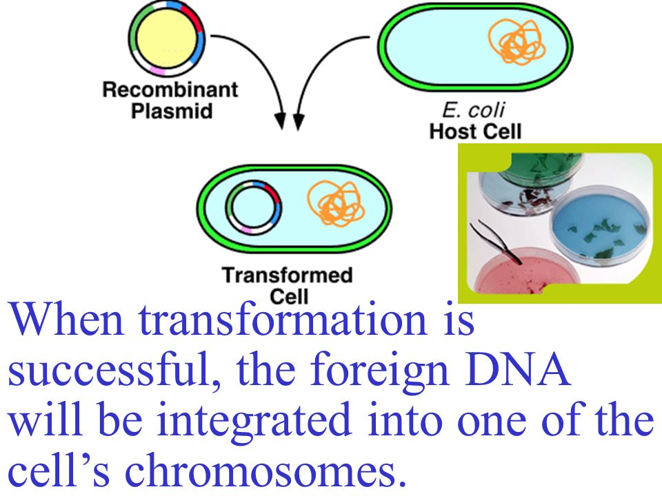 When transformation is successful, the foreign DNA will be integrated into one of the cell's chromosomes.