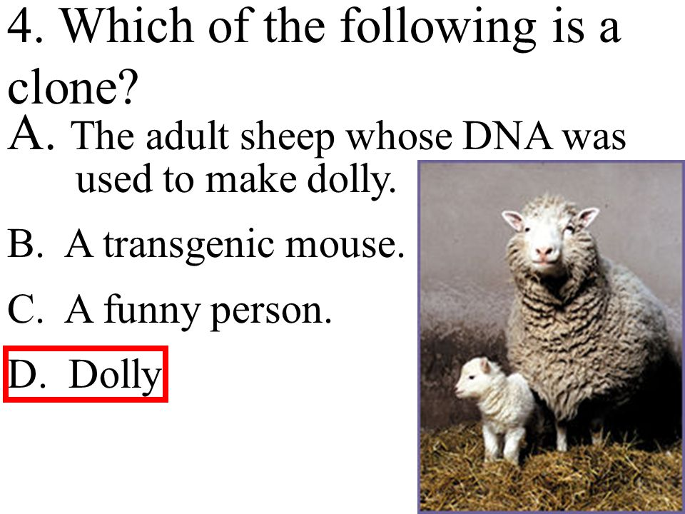4. Which of the following is a clone. A. The adult sheep whose DNA was used to make dolly.
