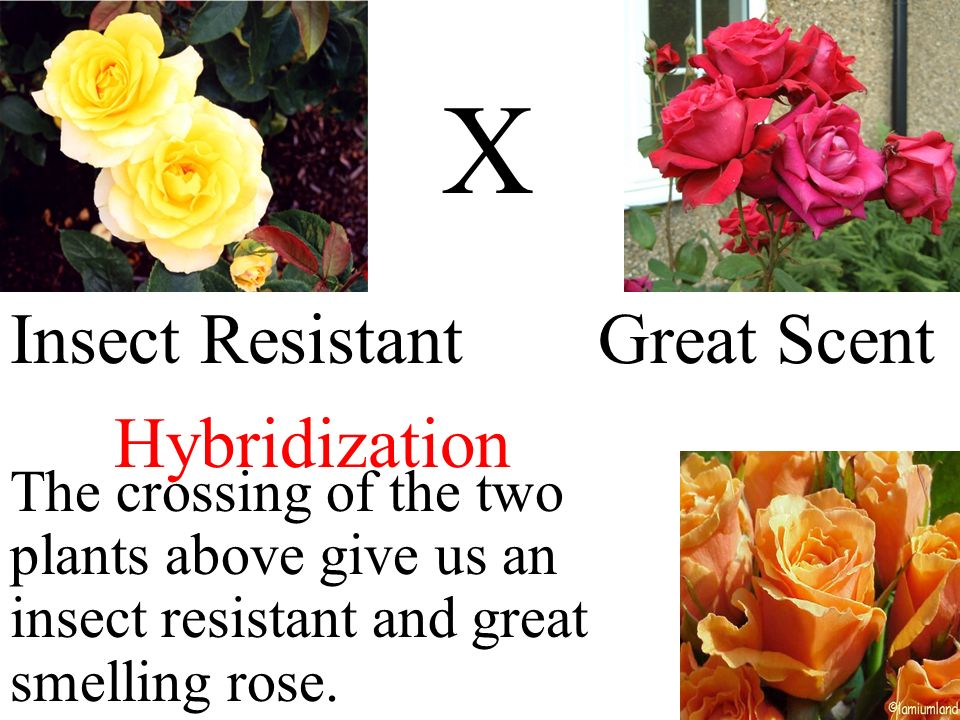 X Insect Resistant Great Scent Hybridization The crossing of the two plants above give us an insect resistant and great smelling rose.
