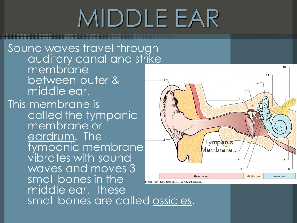Sense Organs The ye the Ear THE EAR Combining Forms for – The Ear Hearing and Balance Worksheet