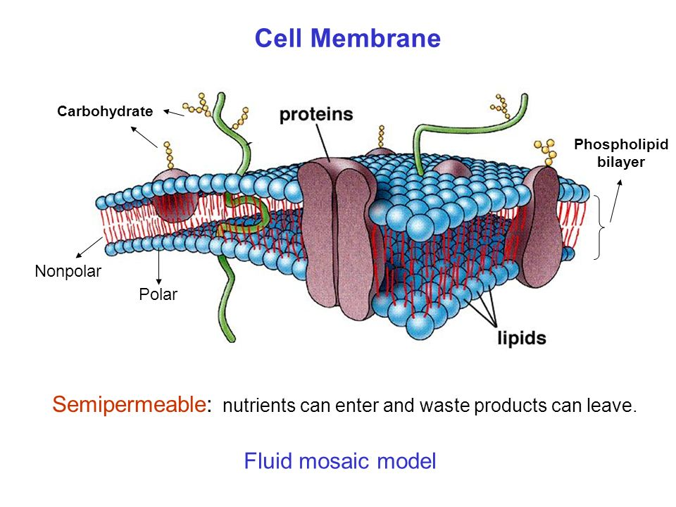 Cell Membrane Semipermeable: nutrients can enter and waste products can leave.