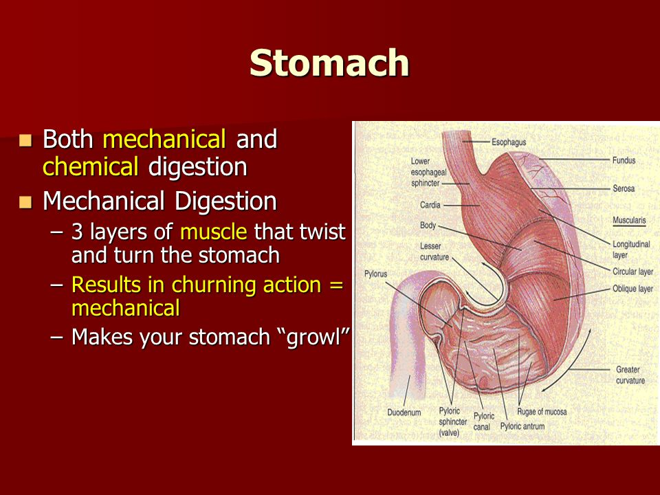 Stomach Both mechanical and chemical digestion Both mechanical and chemical digestion Mechanical Digestion Mechanical Digestion –3 layers of muscle that twist and turn the stomach –Results in churning action = mechanical –Makes your stomach growl