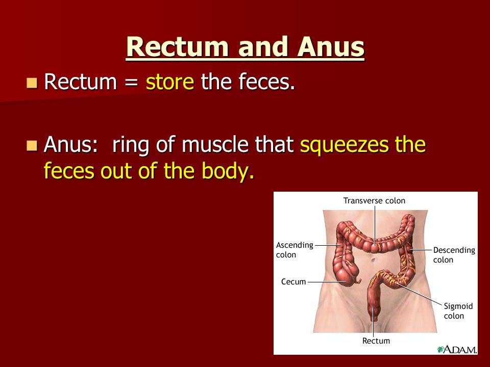 Rectum and Anus Rectum = store the feces. Rectum = store the feces.