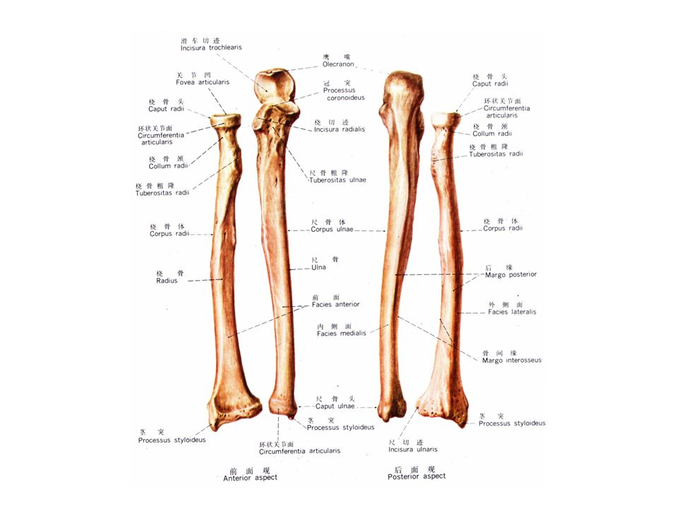 Gross Anatomy Of The Forearm Ppt Video Online Download