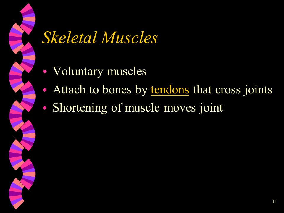 11 Skeletal Muscles w Voluntary muscles w Attach to bones by tendons that cross joints w Shortening of muscle moves joint