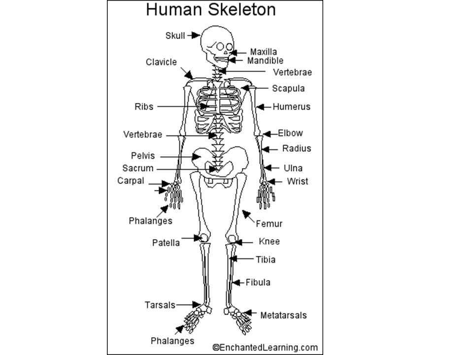 bones & muscles. how many bones does the human skeleton contain, Human body