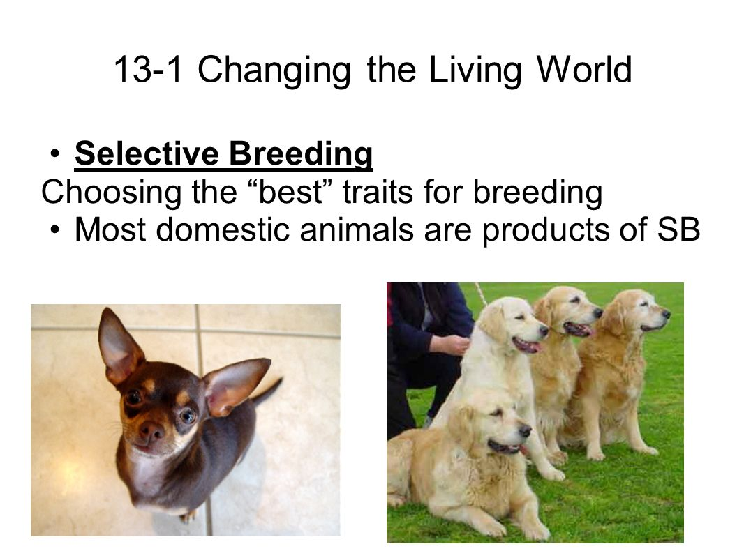 13-1 Changing the Living World Selective Breeding Choosing the best traits for breeding Most domestic animals are products of SB