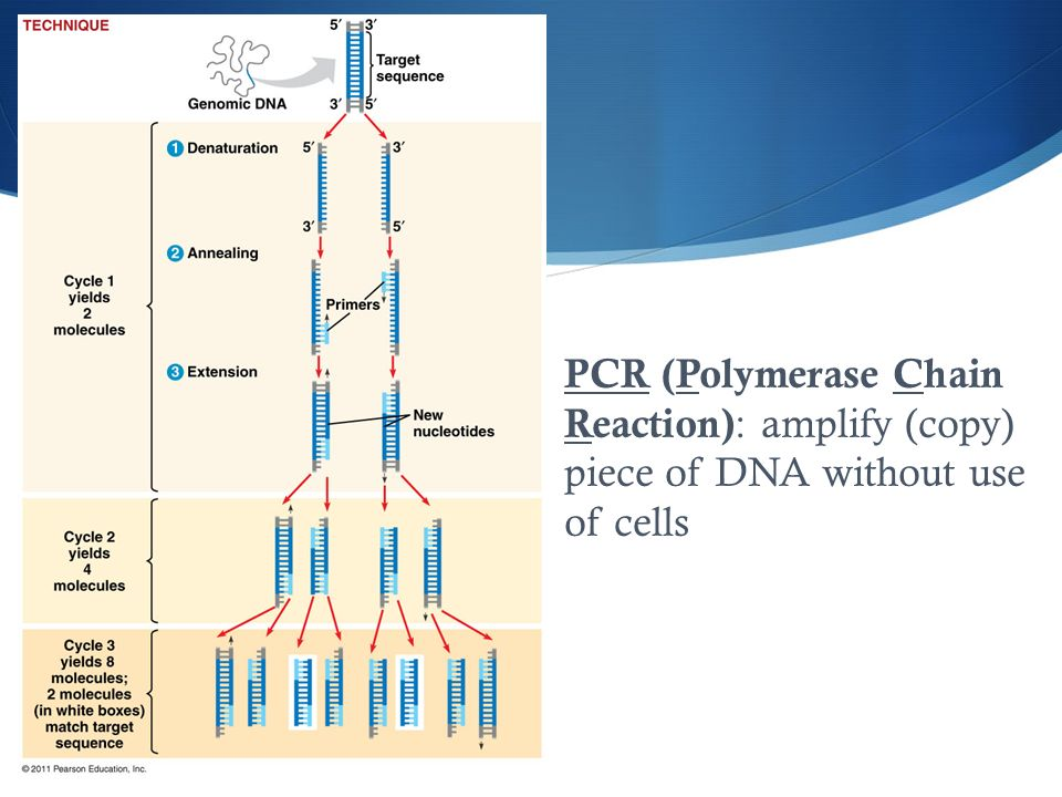 PCR (Polymerase Chain Reaction) : amplify (copy) piece of DNA without use of cells