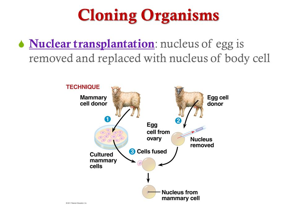 Cloning Organisms  Nuclear transplantation : nucleus of egg is removed and replaced with nucleus of body cell