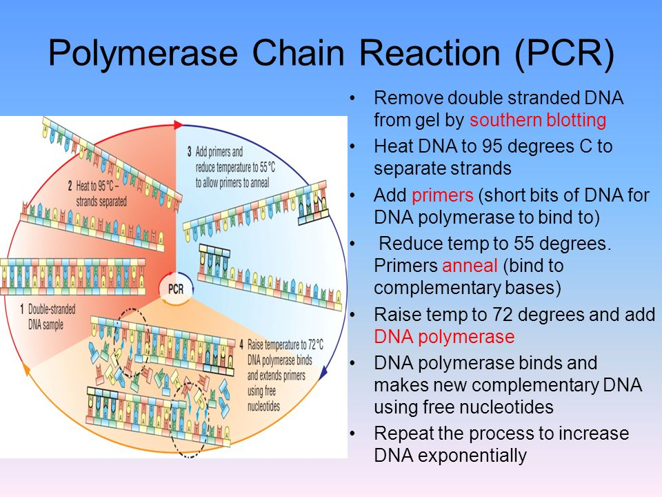 Polymerase Chain Reaction (PCR) Remove double stranded DNA from gel by southern blotting Heat DNA to 95 degrees C to separate strands Add primers (short bits of DNA for DNA polymerase to bind to) Reduce temp to 55 degrees.