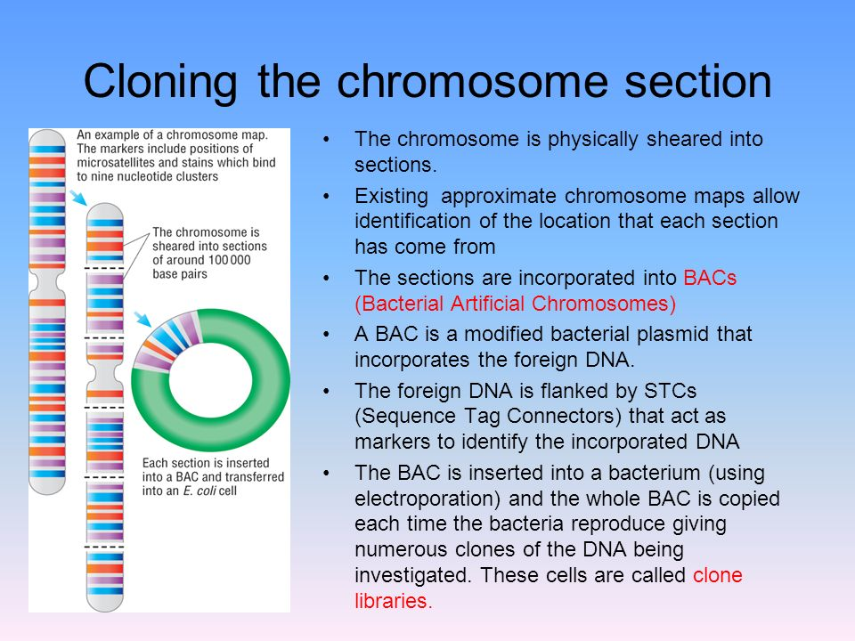 Cloning the chromosome section The chromosome is physically sheared into sections.