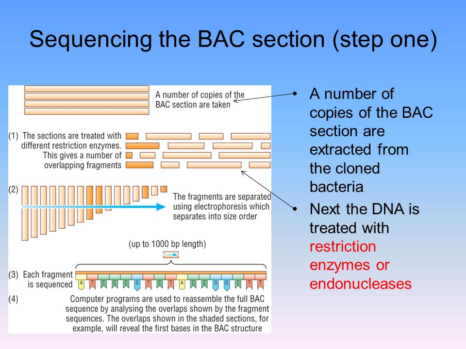 Sequencing the BAC section (step one) A number of copies of the BAC section are extracted from the cloned bacteria Next the DNA is treated with restriction enzymes or endonucleases