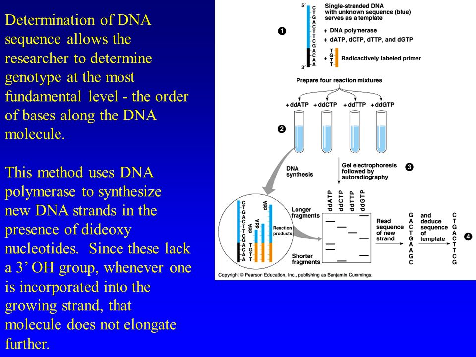 Determination of DNA sequence allows the researcher to determine genotype at the most fundamental level - the order of bases along the DNA molecule.