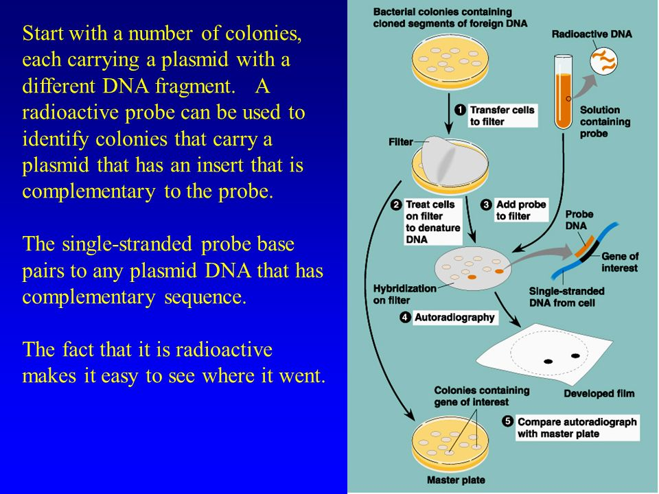 Start with a number of colonies, each carrying a plasmid with a different DNA fragment.