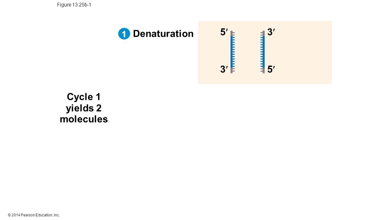 © 2014 Pearson Education, Inc. Figure 13.25b-1 Cycle 1 yields 2 molecules Denaturation 3 53 5 1