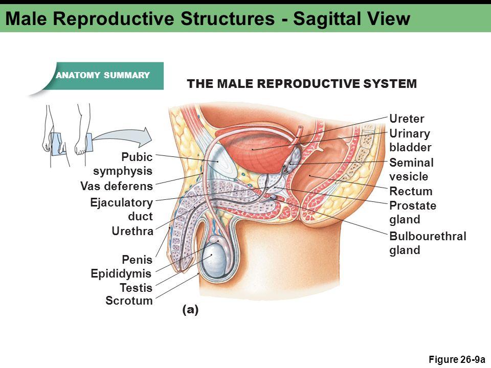 Unique Male Anatomy Vas Deferens Gift - Human Anatomy Images ...