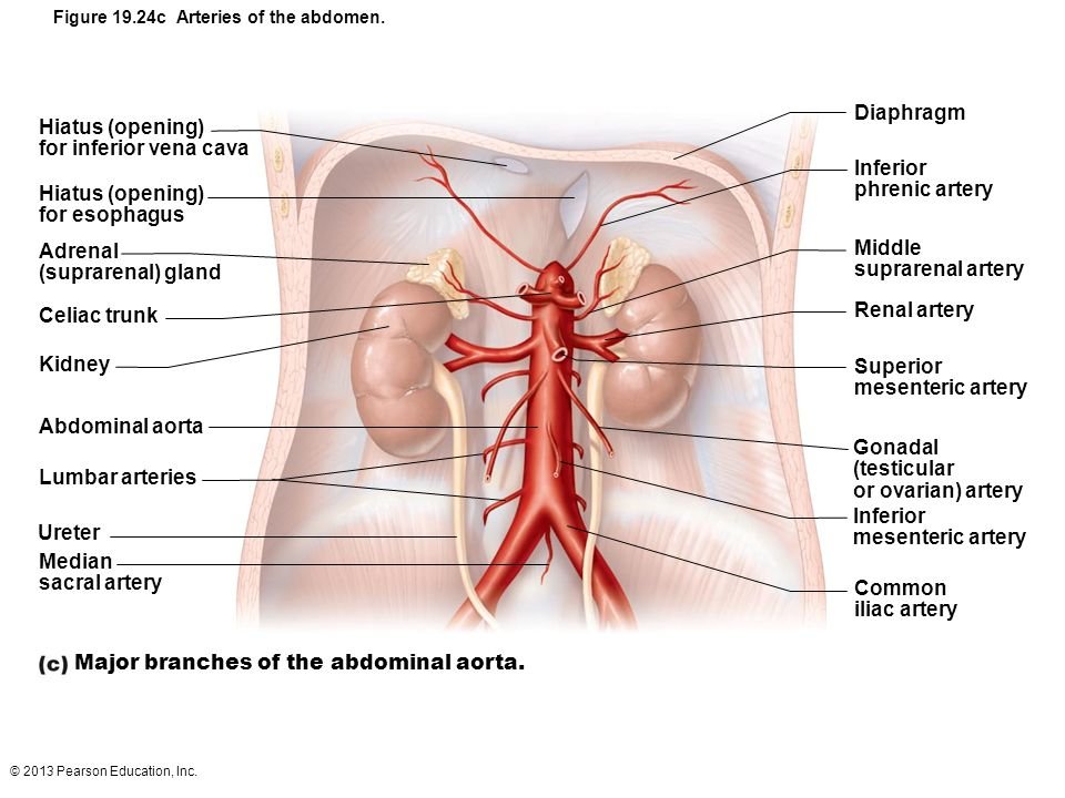 © 2013 Pearson Education, Inc. Figure 19.24c Arteries of the abdomen. Hiatus (opening) for inferior vena cava Hiatus (opening) for esophagus Adrenal (