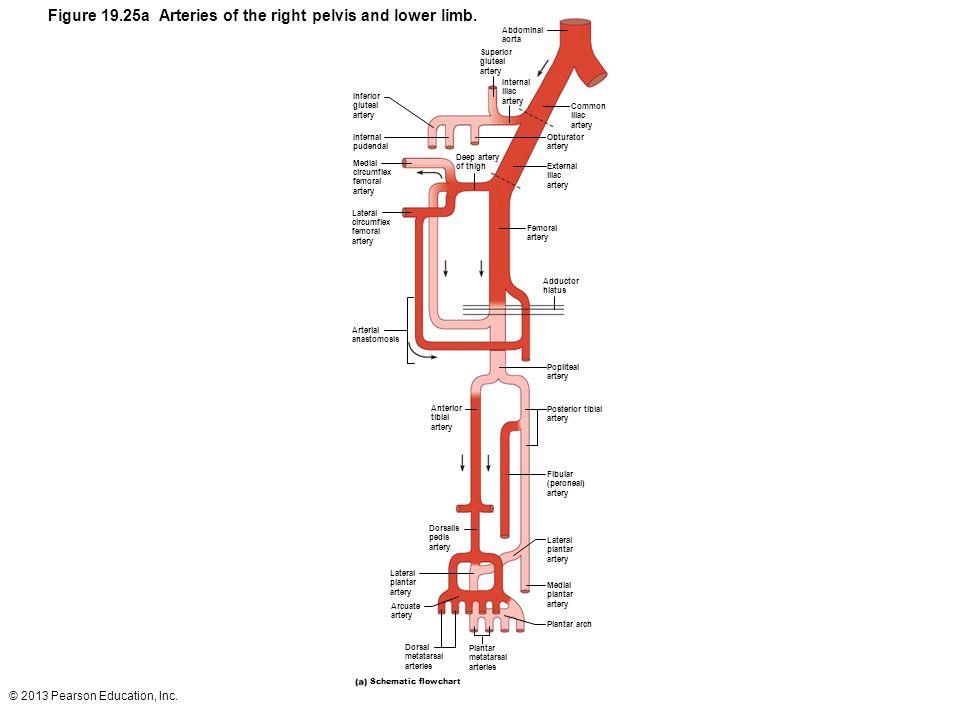 © 2013 Pearson Education, Inc. Figure 19.25a Arteries of the right pelvis and lower limb. Abdominal aorta Superior gluteal artery Internal iliac arter