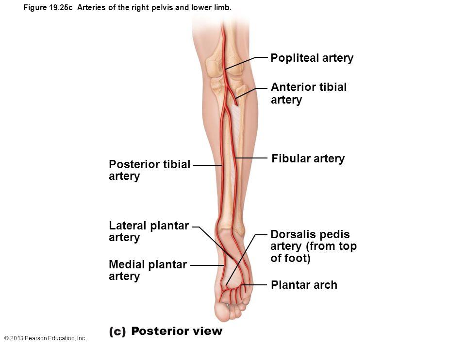 © 2013 Pearson Education, Inc. Figure 19.25c Arteries of the right pelvis and lower limb. Popliteal artery Anterior tibial artery Fibular artery Dorsa