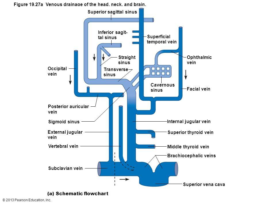 © 2013 Pearson Education, Inc. Figure 19.27a Venous drainage of the head, neck, and brain. Superior sagittal sinus Inferior sagit- tal sinus Superfici