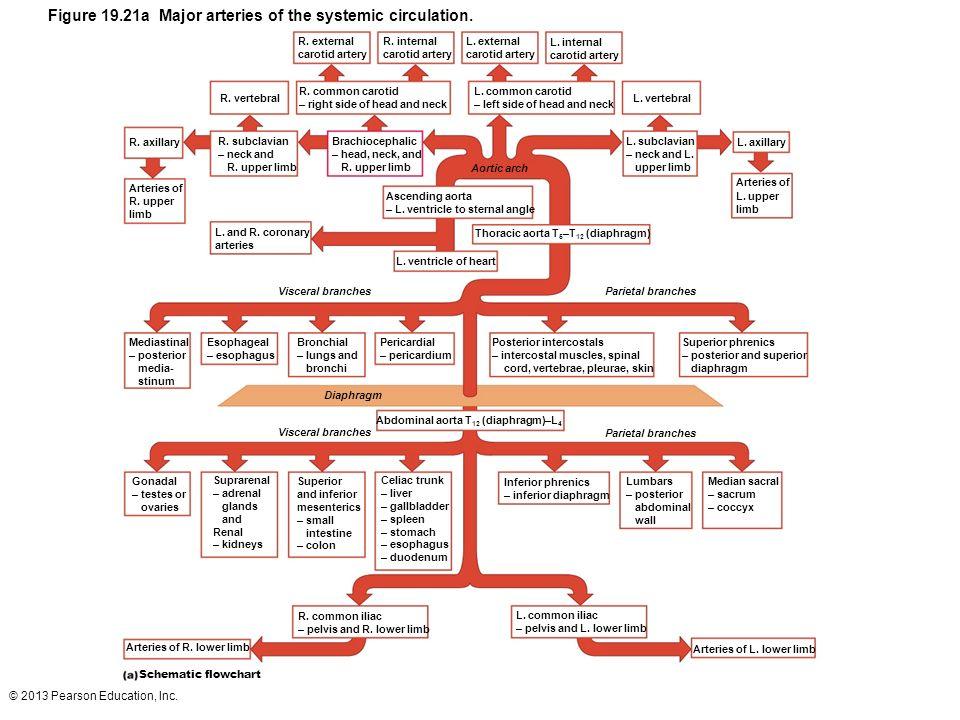 © 2013 Pearson Education, Inc. Figure 19.21a Major arteries of the systemic circulation. R. external carotid artery R. internal carotid artery L. exte