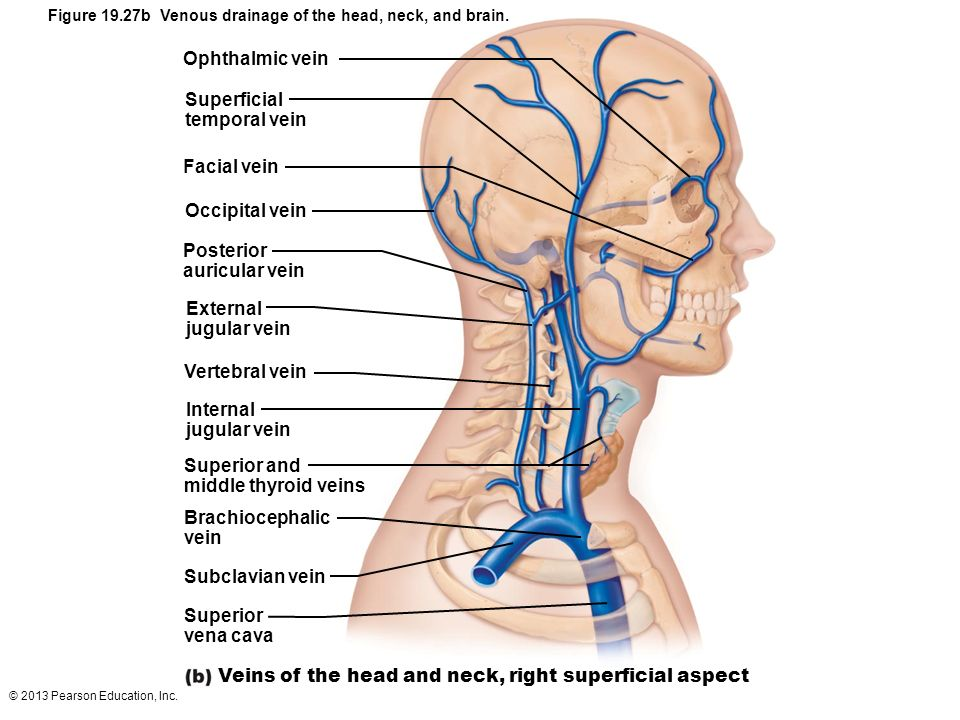© 2013 Pearson Education, Inc. Figure 19.27b Venous drainage of the head, neck, and brain. Ophthalmic vein Superficial temporal vein Facial vein Occip