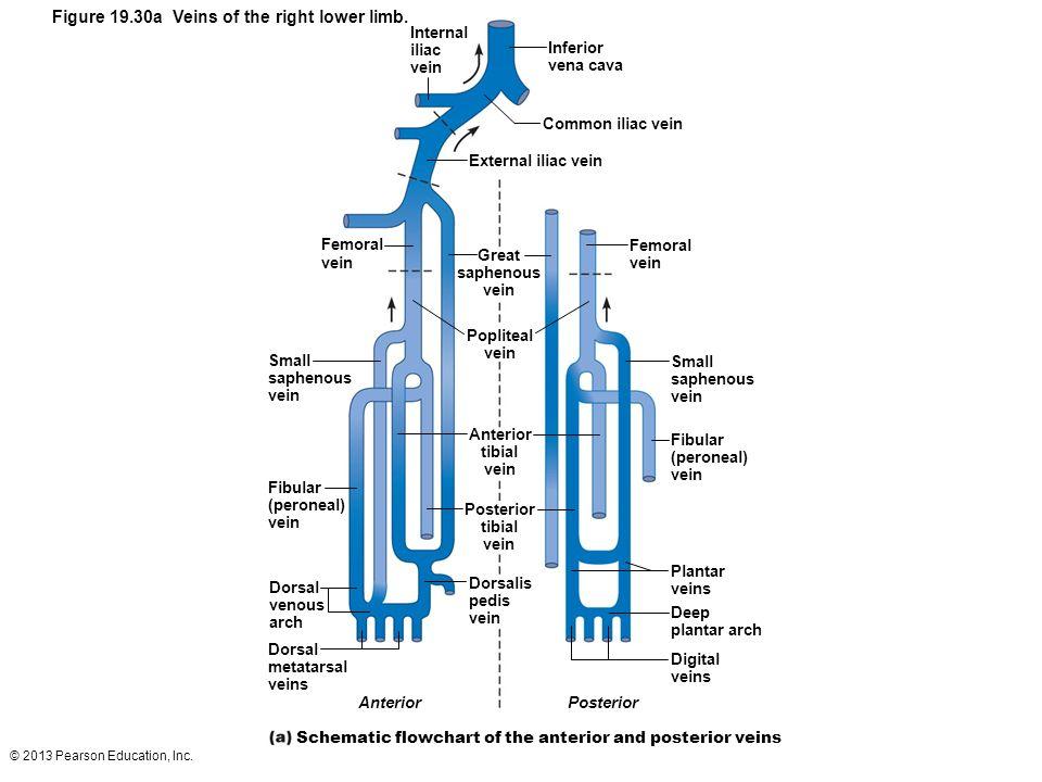 © 2013 Pearson Education, Inc. Figure 19.30a Veins of the right lower limb. Internal iliac vein Femoral vein Small saphenous vein Fibular (peroneal) v