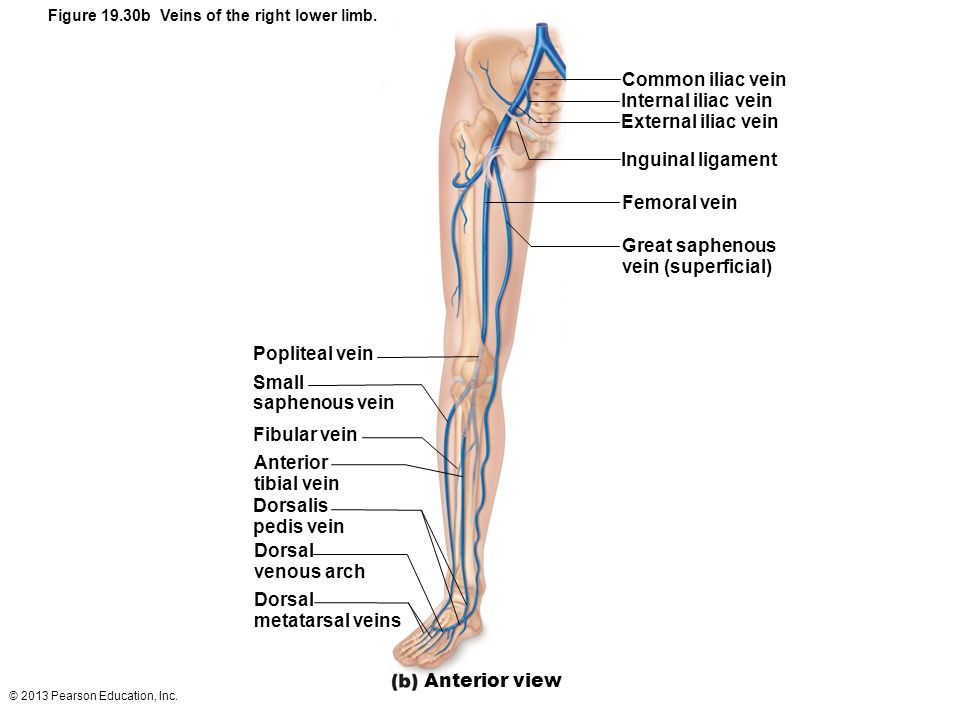 © 2013 Pearson Education, Inc. Figure 19.30b Veins of the right lower limb. Common iliac vein Internal iliac vein External iliac vein Inguinal ligamen