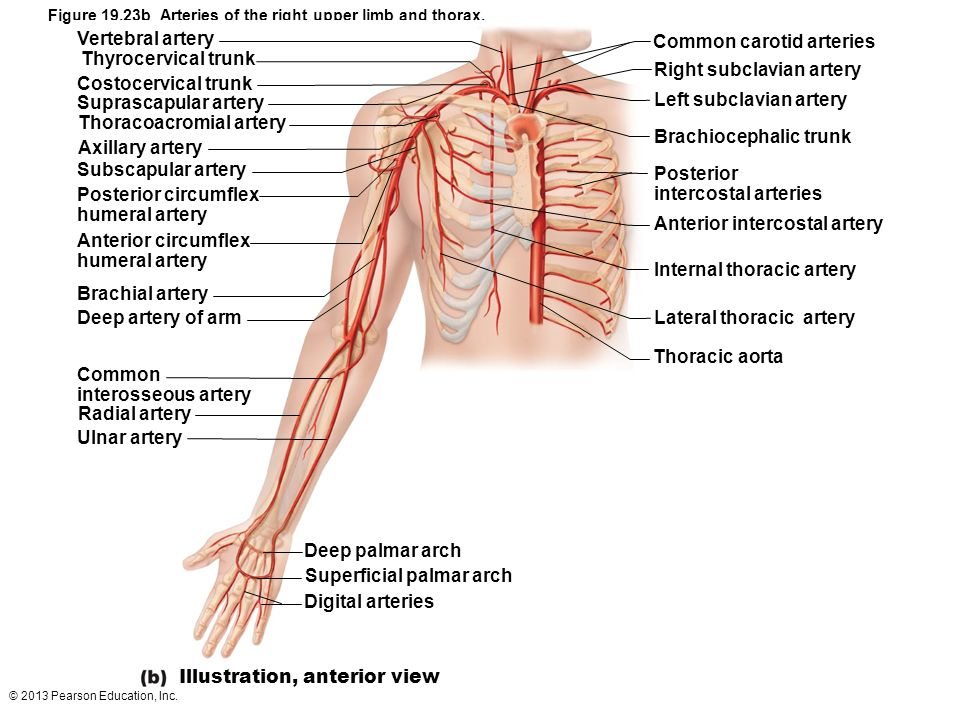 © 2013 Pearson Education, Inc. Figure 19.23b Arteries of the right upper limb and thorax. Common carotid arteries Right subclavian artery Left subclav