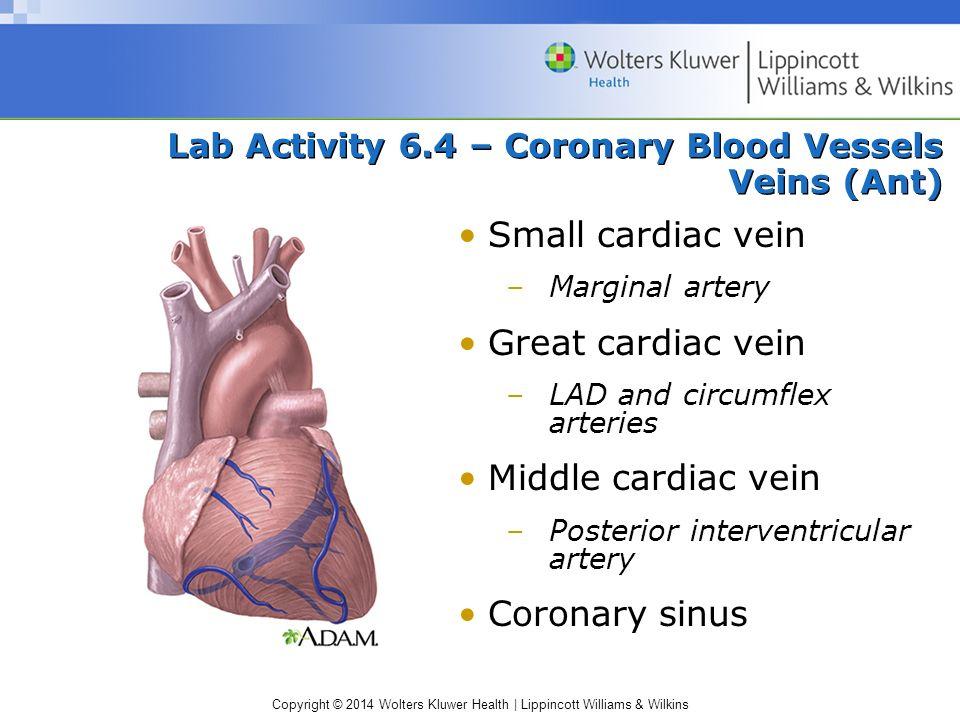 Copyright © 2014 Wolters Kluwer Health | Lippincott Williams & Wilkins Lab Activity 6.4 – Coronary Blood Vessels Veins (Ant) Small cardiac vein –Margi