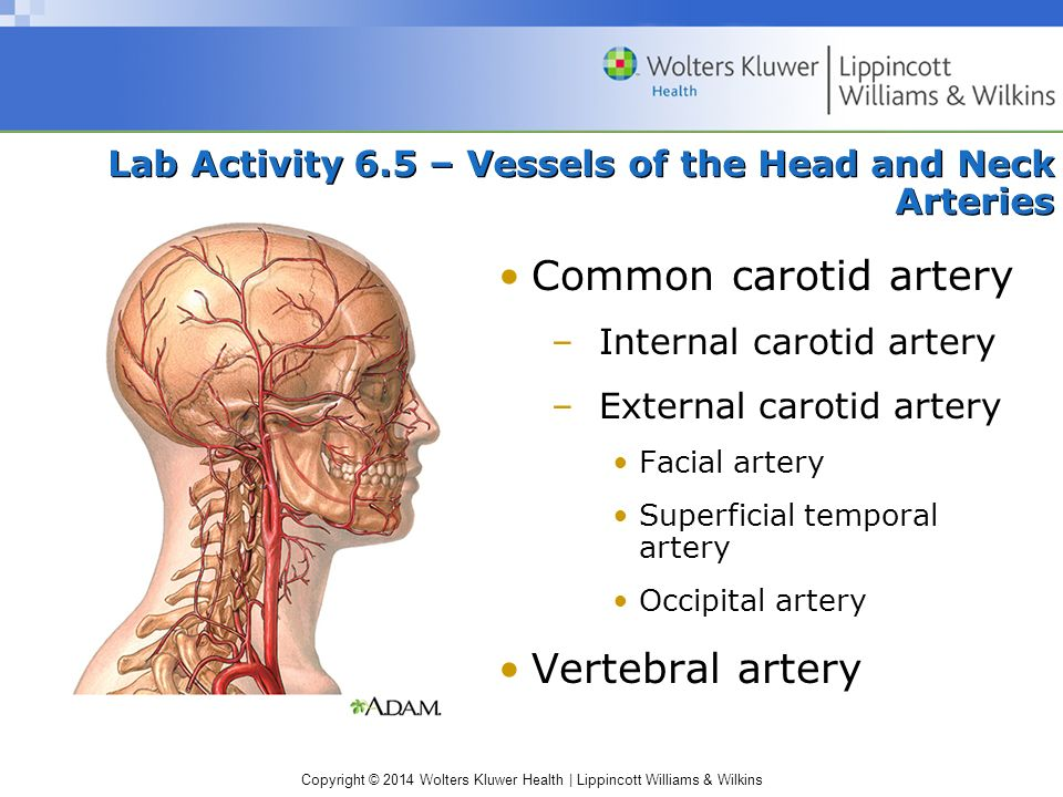 Copyright © 2014 Wolters Kluwer Health | Lippincott Williams & Wilkins Lab Activity 6.5 – Vessels of the Head and Neck Arteries Common carotid artery