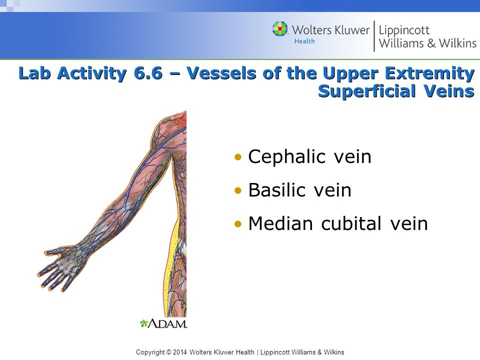 Copyright © 2014 Wolters Kluwer Health | Lippincott Williams & Wilkins Lab Activity 6.6 – Vessels of the Upper Extremity Superficial Veins Cephalic ve