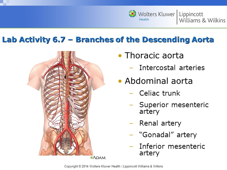 Copyright © 2014 Wolters Kluwer Health | Lippincott Williams & Wilkins Lab Activity 6.7 – Branches of the Descending Aorta Thoracic aorta –Intercostal